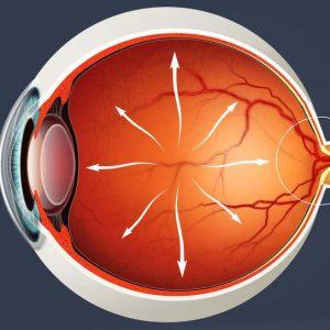 Глаз и нервы внутри него