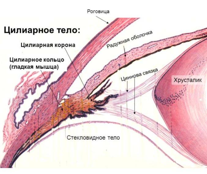 Цилиарное тело
