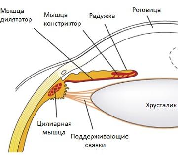 Расположение цилиарной мышцы