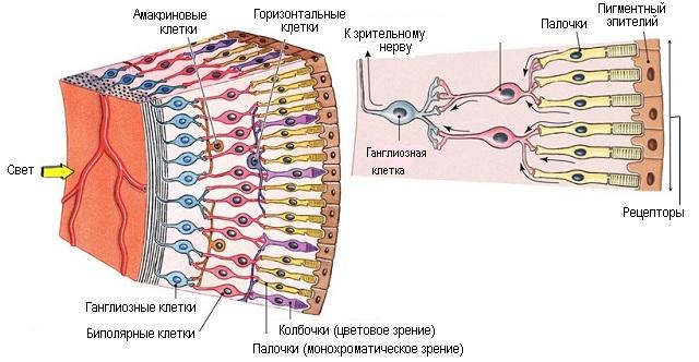Клетки глаза