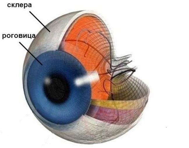 Склера и роговица глаза