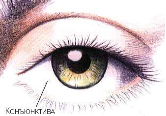 Конъюктива глаза